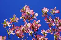Blue Sky Floral Art Prints Pink Dogwood Flowers