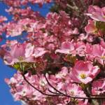 """""""Springtime Trees Blossoming Pink Dogwood Flowers"""" by BasleeTroutman"""