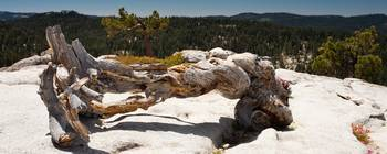 dead tree on Sentinel Dome
