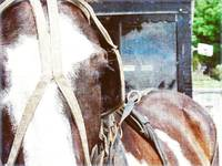 Pinto Horse in Harness