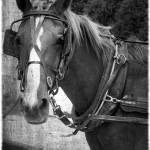 """Amish Horse in Black and White"" by angelandspot"