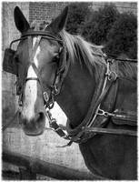 Amish Horse in Black and White