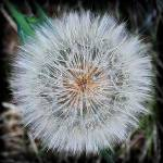 """Extreme Dandelion"" by DavidHensenPhotography"