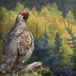 """spruce grouse northern maine"" by rchristophervest"