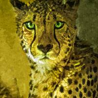 Cheetah portrait Art Prints & Posters by Bernd Tschakert