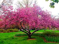 One of the many trees in full bloom at Sherwood Ga
