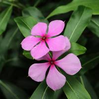 Twin Madagascar Periwinkle Flowers