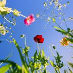 """Wild Poppy Flowers"" by Black_White_Photos"
