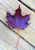 Leaf_from_Red_Maple_Tree