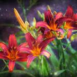"""""""Magical Evening Daylilies"""" by Groecar"""