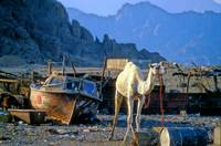 The New Bedouin Slums: Poor Camels...
