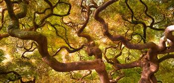 Japanese Maple I