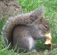 Gray Squirrel with Apple Core
