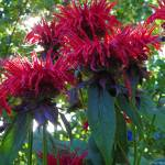 """Jacob Cline Bee Balm"" by vpicks"