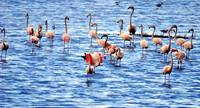 Flamingoes of the Tagus River Estuary