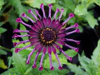 Purple Spoon Daisy