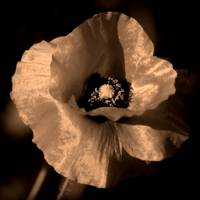 One Poppy in Sepia