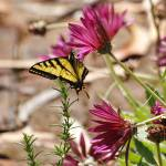 """Yellow Swallowtail Butterfly"" by Wintercreeks"