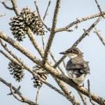 """Eastern Kingbird"" by WildAboutNaturePhotography"
