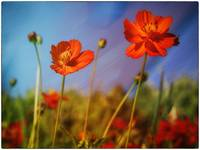 Flower and variation - Poppies 2