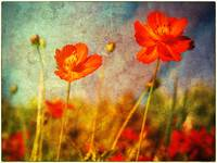 variation on flowers - Poppies