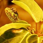 """Karma Chameleon 1"" by Hiwalani_Photography"