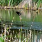 """Red-winged Blackbird"" by patsphotos"
