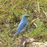 """Male Mountain Bluebird P1150127"" by rayjacque"