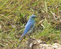 Male Mountain Bluebird P1150127
