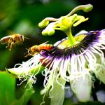 """Honey Bee 2"" by Hiwalani_Photography"