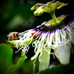 """Honey Bee 1"" by Hiwalani_Photography"