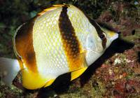 Smilling Butterflyfish