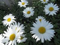 Camomile decor