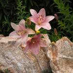 """""""PINK LILIES"""" by shaynaphotography"""