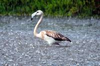 Young Flamingo in the Rain
