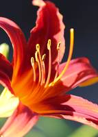 Flaming Daylily by Carol Groenen