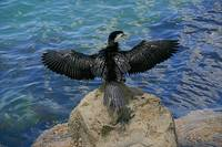 Cormorant with wings spread back view