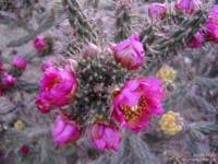 Blooming Cholla 1