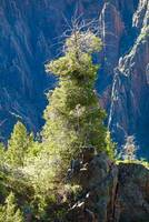 Black Canyon Tree