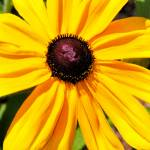 """Black Eyed Susan"" by patsphotos"