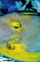 Triggerfish Eye