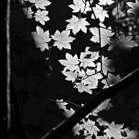 Dappled Leaves