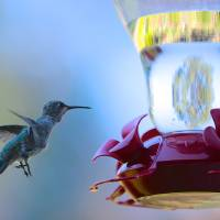 New Hummingbird Feeder Art Prints & Posters by Carol Groenen