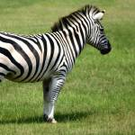 """Zebra"" by kFergPhotos"