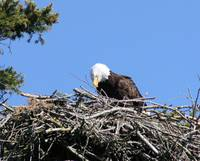 Eagle On Her Nest