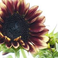 Sunflower Art Prints & Posters by Roaming Nomad Photography