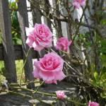 """Roses"" by Kryss"