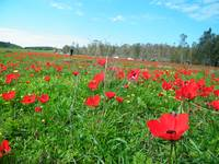 Field of red flowers (Anemone coronaria)