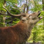 Elk Bellowing In Woods