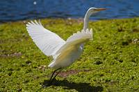 Egret take off, Port Douglas, Queensland, Australi